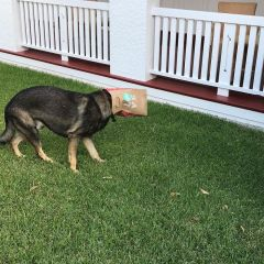 fired-friendly-police-dog-dinds-better-job-gavel-11-593a88e5330fd__700